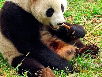 Pandas relish the sweeter side of life